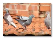 Tauben als Schädlinge in städtischen Bereichen