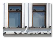 Tauben auf Fenstersims